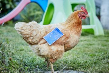 Huhn im Gras mit einer EU Flagge