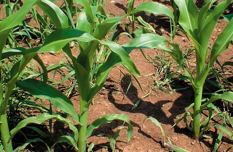 Nahaufnahme von jungen Maispflanzen auf einem Acker.
