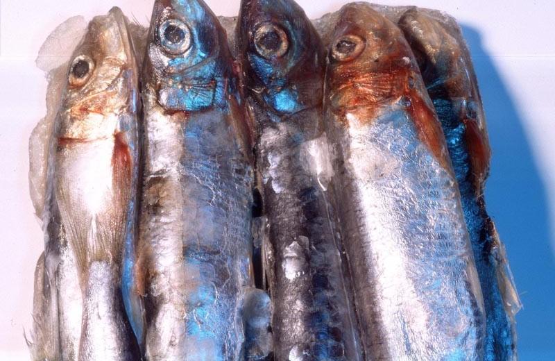 Nahaufnahme einiger silbern glänzender Fische.