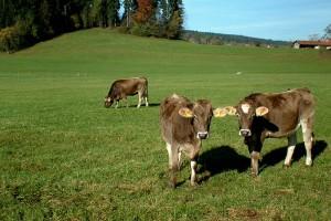 Drei braune Kühe auf einer hügeligen, grünen Weide.