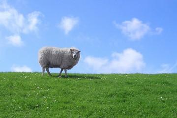 Schaf auf einem mit Gras bewachsenen Damm vor blauem Himmel.