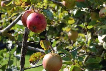 Detailaufnahme eines Früchte tragenden Apfelbaumes auf einer Obstwiese.