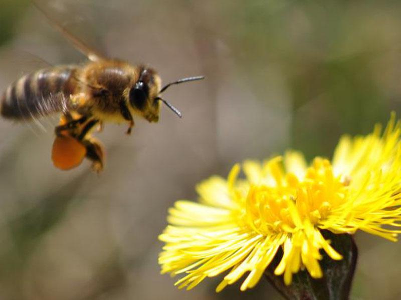 Nahaufnahme einer Honigbiene im Anflug auf eine Löwenzahnblüte.