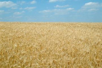 Blick über ein reifes Kornfeld vor blauem Himmel.