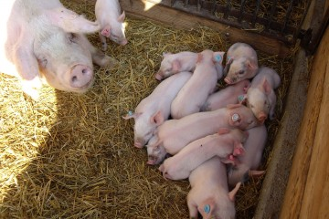 Blick von oben in einen mit Stroh gefüllten Schweinestall, in dem eine Sau und viele Ferkel zu sehen sind.