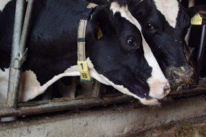 Nahaufnahme zweier schwarz-weißer Kühe, die eng nebeneinander in einem Stall stehen, die Köpfe durch eine Metallkonstruktion streckend.